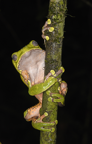 Giant Waxy Monkey Frog