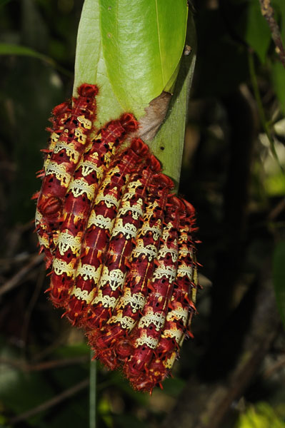 Mass of Morpho Butterfly caterpillars