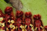 Morpho Butterfly caterpillars