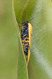 Anomalous Bluetail