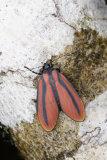 Vermillion Humbug Moth