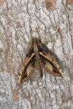Xylophanes Hawkmoth