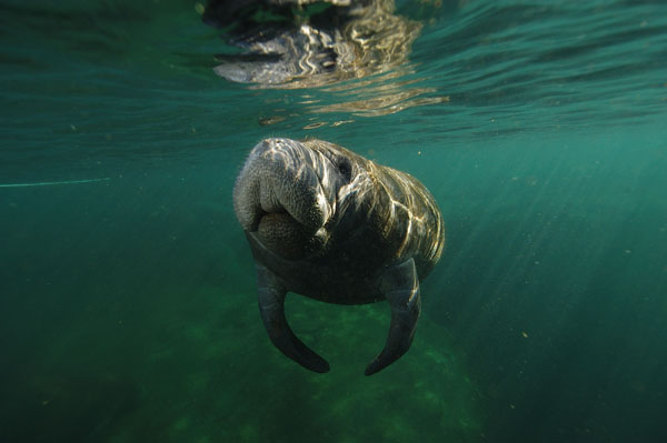 North American Manatee (Trichechus manatus) or Sea Cow