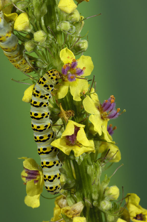 Caterpillar of The Mullein Shark Moth