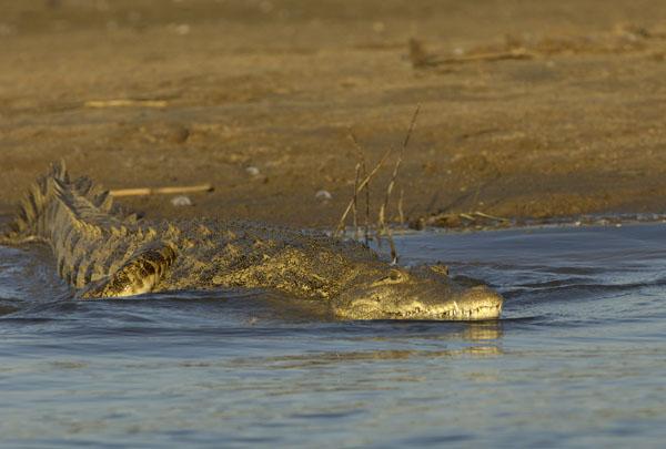Nile Crocodile (Crocodylus niloticus) slips into the water