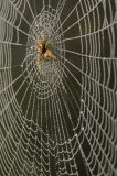 Garden Orb Spider (Araneus diadematus) waiting patiently in it's web