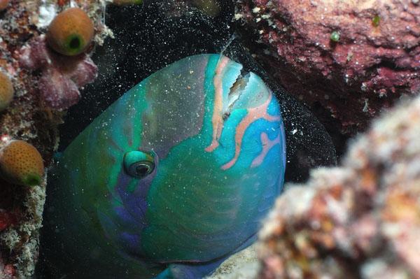 Sleeping Parrotfish, The Maldives