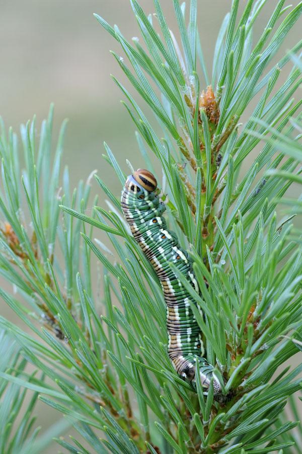 Pine Hawkmoth caterpillar