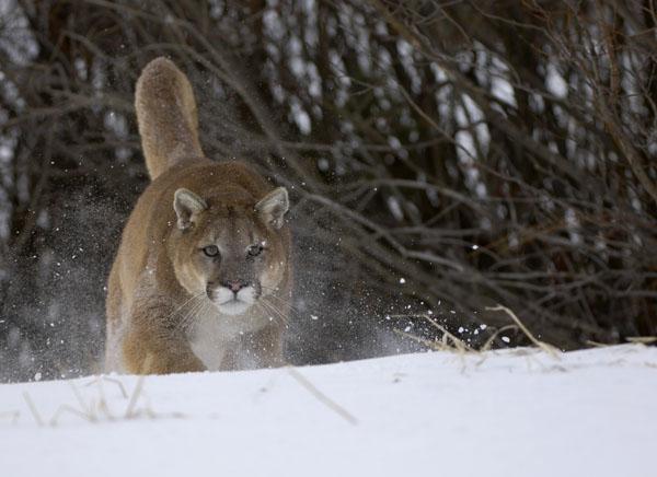 Mountain Lion or Puma (Puma concolor)