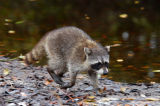 North American Racoon (Procyon lotor)