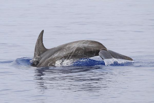 Risso's Dolphin (Grampus griseus) Maldives