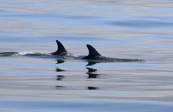 Risso's Dolphins (Grampus griseus)