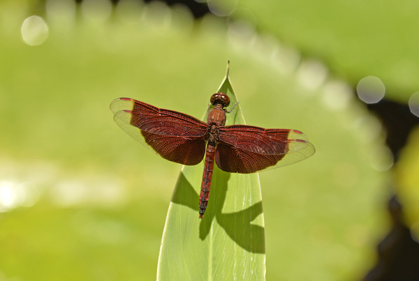 Red Grasshawk Dragonfly (Neurothemis fluctuans), Bali, Indonesia