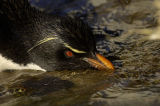 Rockhopper Penguin drinking fresh water