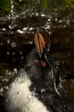 Rockhopper Penguin (Eudyptes chrysosome) takes a drink