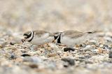 Ringed Plover (Charadrius hiaticula) pair at nest, Holland