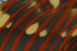 Wing pattern of The Royal Silkmoth (Citheronia regalis), USA