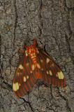Regal Silkmoth, USA