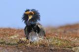 Ruff (Philomachus pugnax) male displaying at lek, Norway