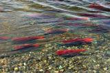 Sockeye Salmon (Onchorhynchus nerka)