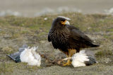 Striated Caracara (Phalcoboenus australis) Falkland Islands