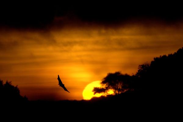 Straw-coloured Fruit Bat (Eidolon helvum) takes flight at sunset, Zambia