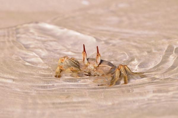 Ghost or Sand Crab (Ocypode species) Maldives