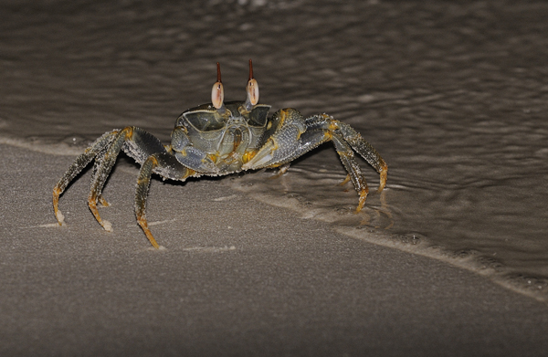 Ghost or Sand Crab (Ocypode species) Maldives