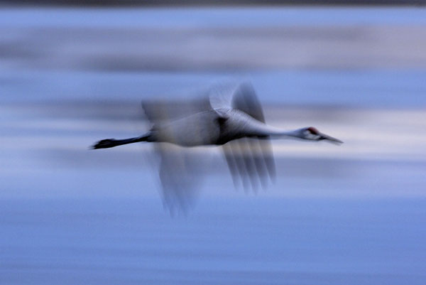 Sandhill Cranes (Grus canadensis) flying in to roost