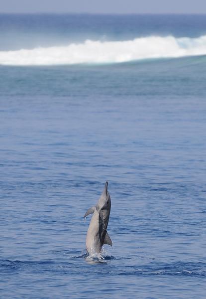Spinner Dolphin (Stenella longirostris) spinning, Maldives