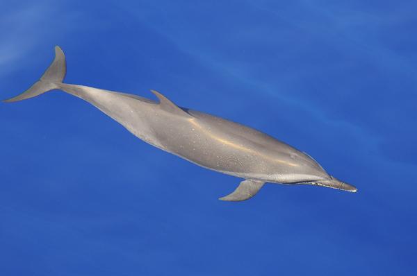 Pantropical Spotted Dolphin (Stenella attenuata) Maldives