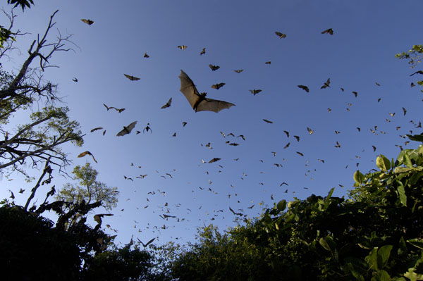 Straw-coloured Fruit Bats (Eidolon helvum) in flight, Zambia