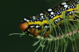 Caterpillar of The Spurge Hawkmoth
