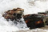 Sally Lightfoot Crabs (Grapsus grapsus) Galapagos Islands