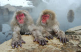 Japanese Macaques (Macaca fuscata) enjoying a hot bath