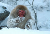 Japanese Macaque (Macaca fuscata) foraging in the snow