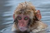 Young Japanese Macaque (Macaca fuscata)