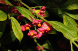 Flowers and Fruit of The Spindle Tree (Celastraceae) UK