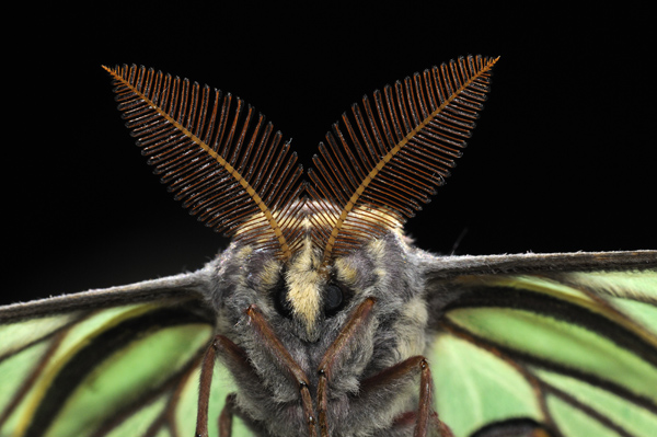 Male Spanish Moon Moth (Graellsia isabellae)