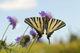 Scarce Swallowtail at rest on scabious flower