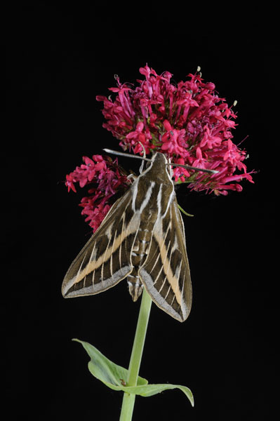 Striped Hawkmoth