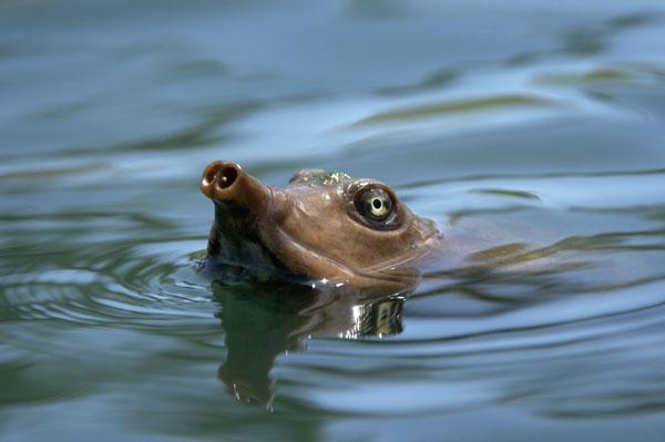 Florida Softshell Turtle (Trionyx ferox)