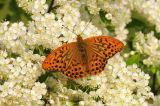 Male Silver-washed Fritillary