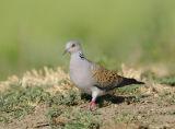 Turtle Dove (Streptopelia turtur) Bulgaria