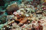Tassled Scorpionfish (Scorpaenopsis oxycephala), The Maldives