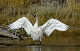 Trumpeter Swan (Cygnus buccinator) stretches its wings