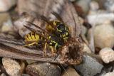Common Wasps Feeding