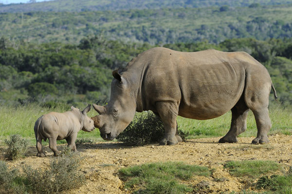 White or Square-lipped Rhinoceros (Ceratotherium simum) and calf, South Africa
