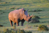 White or Square-lipped Rhinoceros (Ceratotherium simum)  South Africa