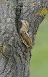 Wryneck (Jynx torquilla) at nest hole, Bulgaria